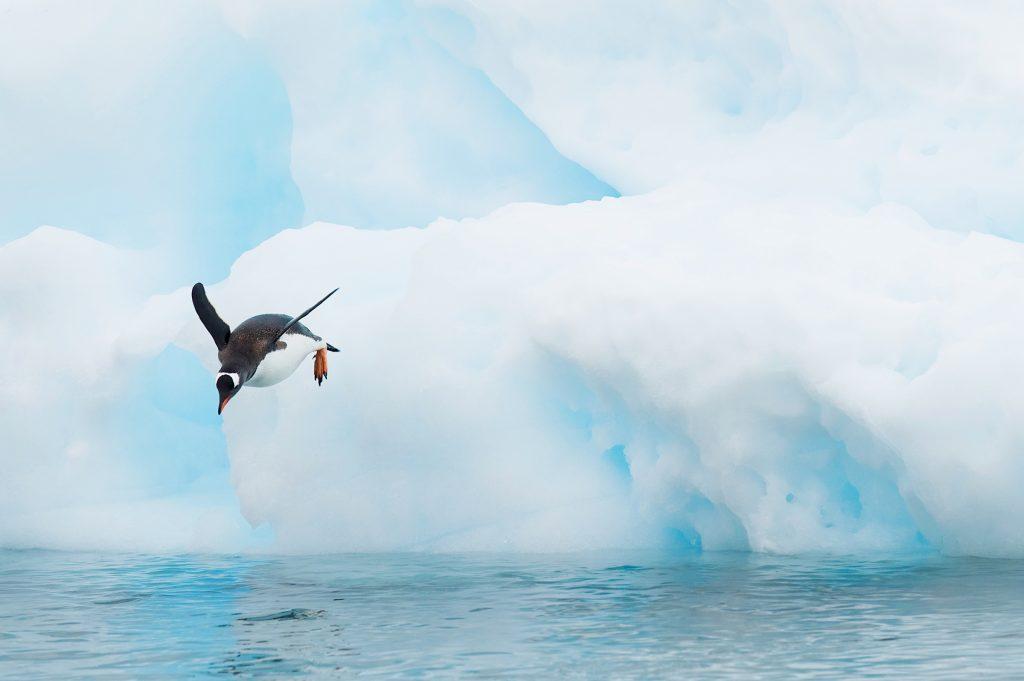 Gentoo Penguins (Pygoscelis papua) on an iceberg, Neko Harbour, Antarctica